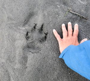 Signs of wildlife are abundant- check out these wolf tracks!