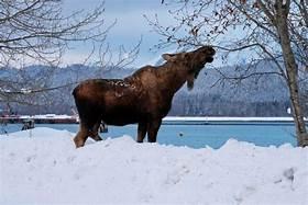 website moose